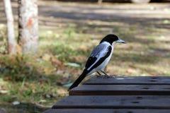 Пестрый Butcherbird Стоковое фото RF