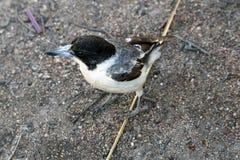 Пестрый Butcherbird Стоковые Изображения RF
