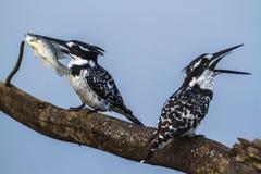 Пестрый kingfisher в национальном парке Kruger, Южной Африке Стоковые Фотографии RF