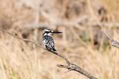 Пестрый kingfisher в тростниках стоковая фотография