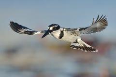 Пестрый Kingfisher завиша над водой с рыбой Стоковые Фото