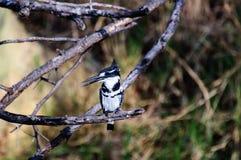 Пестрый Kingfisher ища своя следующая еда Стоковое Изображение RF