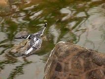 Пестрый kingfisher на окуне рыбной ловли Стоковые Фотографии RF