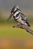 Пестрый Kingfisher Стоковая Фотография RF