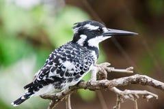 Пестрый Kingfisher Стоковое Изображение