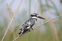 Пестрый Kingfisher (rudis Ceryle) Стоковые Фото