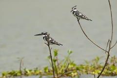 2 пестрых Kingfishers Стоковые Фото