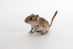 Песчанка сора монгольская, крыса пустыни Стоковая Фотография RF