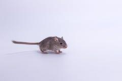 Песчанка сора монгольская, крыса пустыни Стоковое Изображение
