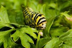 петрушка гусеницы Стоковая Фотография