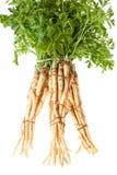 Петрушка корня в пуке Стоковая Фотография
