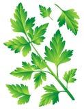 петрушка листьев стоковая фотография rf