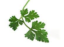 петрушка листьев Стоковое Фото