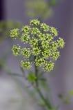 Петрушка цветка стоковая фотография rf