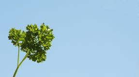 петрушка Стоковое фото RF