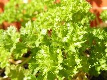 петрушка Crisped-листьев Стоковое Изображение