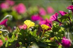 Петуньи один из самых популярных цветков стоковое изображение rf