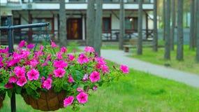 Петунья в цветочном горшке Стоковая Фотография RF