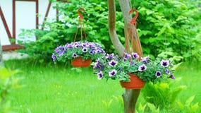 Петунья в цветочных горшках Стоковое Изображение RF