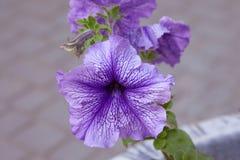 Петунья приятно голубое Fusables Большая петунья Grandiflora, петунья цветка петуньи сирени папы стоковое фото