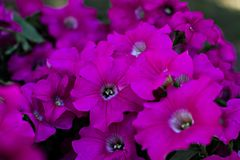 Петунья пурпурна стоковое фото