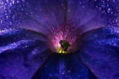 петунья цветения стоковая фотография