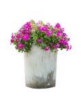 Петунья цветет в цветочном горшке изолированном на белой предпосылке стоковые изображения rf