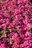 Петунья цветет предпосылка стоковое изображение