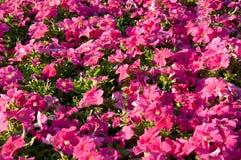 Петунья цветет предпосылка стоковое фото