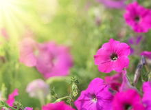 петунья цветка Стоковые Фото