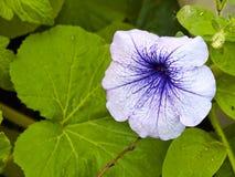 Петунья цветка Стоковая Фотография