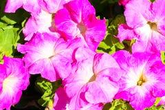 петунья цветка Стоковое Изображение