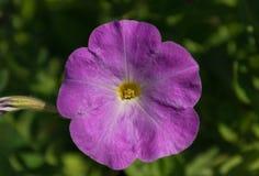 петунья Stimoryne Nyctaginiflora петуньи чувствительный цветок Цветки других цветов - белых, розовый, фиолетовый bushes стоковые изображения