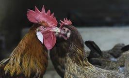 Петухи и цыплята в их курятнике стоковое фото rf