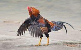 Петухи, петухи кукарекая, петухи пакуя крылья стоковые изображения