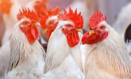 Петухи оперенные белизной на ферме стоковое изображение