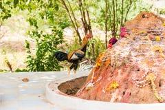 Петух в дворе, Puttaparthi, Андхра-Прадеш, Индия Скопируйте космос для текста Стоковая Фотография