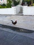 петух в ключах Флориды Стоковая Фотография RF
