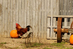 Петух в осени Стоковое Фото