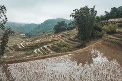 Петух в полях риса в сельском стоковые изображения rf