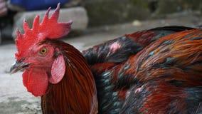 Петух в черноте удерживания волосатой красной стоковое фото rf