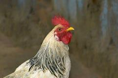 Петух или петушок, мужчина отечественной птицы или цыпленок, domesticus Gallus стоковые изображения rf