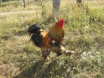 петух идет на траву Стоковые Изображения RF