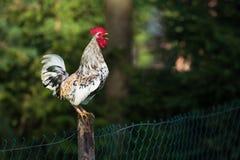 Петух или цыплята на традиционной свободной птицеферме ряда Стоковые Фотографии RF