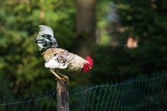 Петух или цыплята на традиционной свободной птицеферме ряда Стоковое Фото