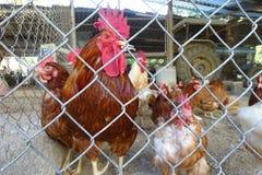 Петух и курицы в ферме Стоковая Фотография RF