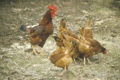Петух и курицы Стоковая Фотография RF