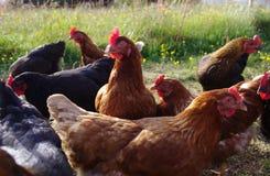 Петух и цыплята на ферме Стоковые Изображения