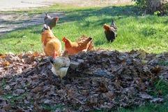 Петух и цыплята на ферме Стоковое Изображение RF