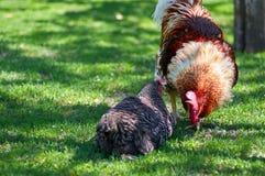 Петух и цыплята на ферме Стоковая Фотография RF
